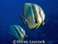 Batfish - one of my favourite fish. Theses guys were gett... by Steve Laycock