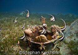 Schooling bannerfish(Heniochus diphreutes) dancing around... by Stephan Kerkhofs