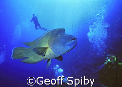 a huge friendly Napoleon wrasse by Geoff Spiby