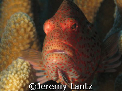 Blackside hawkfish, Paracirrhites forsteri (hilu pili-ko'... by Jeremy Lantz