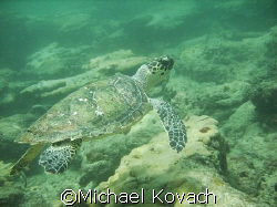 Hawksbill turtle encountered on inside reef at Lauderdale... by Michael Kovach
