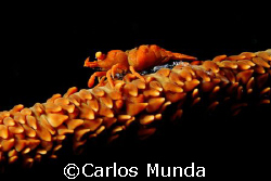 shrimp on a whip. samal island. canon 350D by Carlos Munda