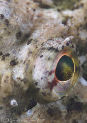 Long spined scorpion fish eye. North Wales. D200, 105mm. by Derek Haslam