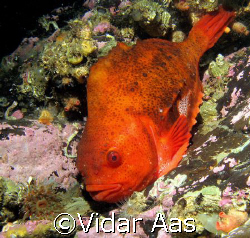 Lump fish.  They are found in the cold waters of the Ar... by Vidar Aas
