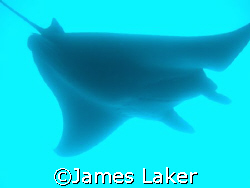 Manta Ray by James Laker