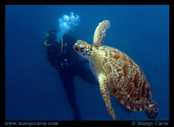 Green Sea Turtle swimming to the surface to take a breath... by Margo Cavis