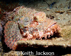 Sea scorpion by Keith Jackson