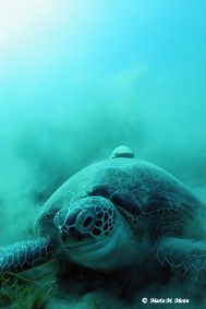 Green Turtle with a Resting Remora on it's back taken in ... by Maria Munn