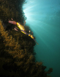 A weedy sea dragon laden with eggs. The males carry the e... by Cal Mero