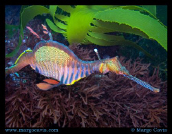 Sea Dragon in the kelp - found this one while diving in t... by Margo Cavis