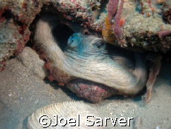 Octopus Riviera Beach, FL by Joel Sarver