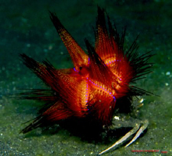 Crab transporting a fire urchin on its back. U/W version ... by Leigh Chapman