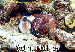 Common Reef Octopus (Octopus cyanea), mating pair, taken ... by Jim Phillips