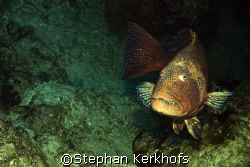 Red sea coralgrouper (Plectropomus pessuliferus) taken at... by Stephan Kerkhofs
