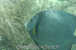 Angel fish on inside reef at Lauderdale by the Sea by Michael Kovach