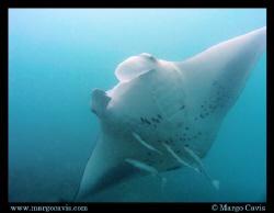Manta Ray in the Seychelles - island of Mahe by Margo Cavis