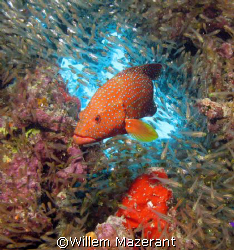 Jewel wrasse, Abu erg Ramada, Red Sea Egypt, Powershot G7... by Willem Mazerant