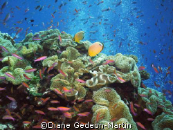 Red fin butterlfies on top of pinnacle at Half Pipe dive ... by Diane Gedeon-Martin