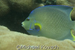 Queen Angel Fish on the inside reef at Lauderdale by the Sea by Michael Kovach
