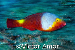 Parrot fish by Victor Amor