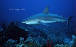 Roatan reef shark by Keith Partlo