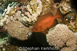 Crescent-tail bigeye (Priacanthus hamrur) taken in Marsa ... by Stephan Kerkhofs