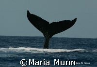 Humpback Whale Fluke taken in Puerto Vallarta, Mexico wit... by Maria Munn