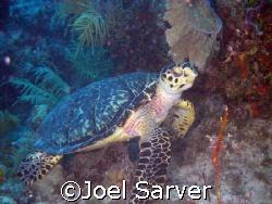 Portrait of a Turtle Key Largo, Florida by Joel Sarver