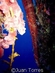 Close up of a Trumpet Fish in Salt Piers, Bonaire. by Juan Torres