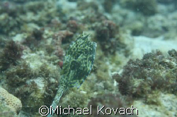 Scrawled Cowfish on the inside reef at Lauderdale by the Sea by Michael Kovach