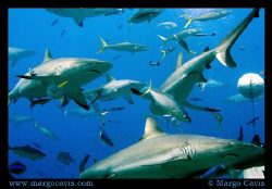 Reef Sharks in Australia by Margo Cavis