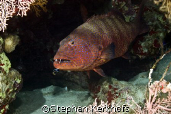 Red sea coral grouper (Plectropomus pessuliferus) was pos... by Stephan Kerkhofs