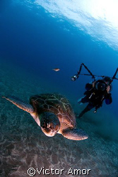 Green turtle an diver by Victor Amor