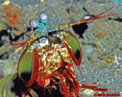 Mantis shrimp. Lembeh. Nikon D200. 105mm lens. by Leigh Chapman