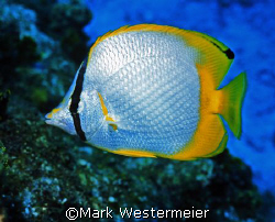 Butterfly - Image taken in Cayman with an Nikonos RS, 50m... by Mark Westermeier