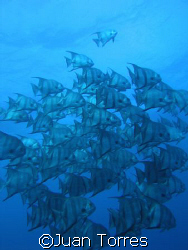 Atlantic Spadefish in Parguera, Puerto Rico. by Juan Torres