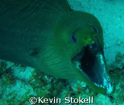Angry 7ft. Green Moray. Picture taken off the east point ... by Kevin Stokell