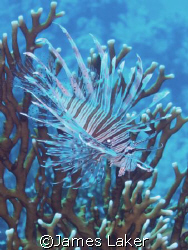 Lionfish in Sharm by James Laker