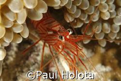Peppermint Shrimp. Bonaire. Canon XTi 100mm. by Paul Holota