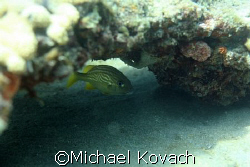 French Grunt under ledge at Lauderdale by the Sea by Michael Kovach