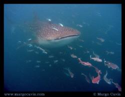 Whale Shark Ahead. Whale shark in the Seychelles - island... by Margo Cavis