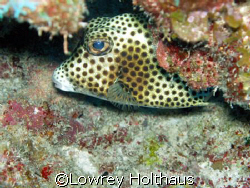 Spotted Trunkfish by Lowrey Holthaus