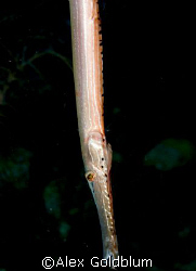 Trumpet Fish by Alex Goldblum