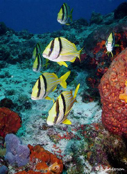 Porkfish!!!! One of my favorite fish to photograph. Swimm... by Steven Anderson