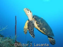 nice turtle at two for you dive site in parguera area....... by Victor J. Lasanta
