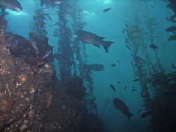 Diving in the reserve off Anacapa is strikingly different... by Wendy Mitchell