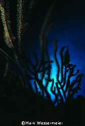 Underwater Lace - Image taken in Caymans with a Nikonos I... by Mark Westermeier
