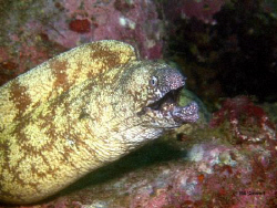 """Up Close and Personal""  Moray Eel photographed off Ita B... by Bill Stewart"