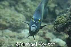 Angel fish at the inside reef at Lauderdale by the Sea by Michael Kovach