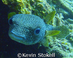 This Porcupine fish got a little prickly as I got close. ... by Kevin Stokell